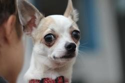 Beethoven, Chien chihuahua à adopter