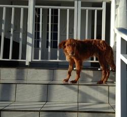 chien roux poils mi longs chien cr ole adopter dans la r gion dom tom. Black Bedroom Furniture Sets. Home Design Ideas