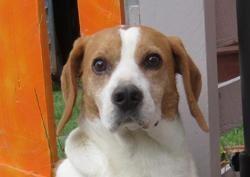 Lewis, Chien croisé / autre (beagle) à adopter