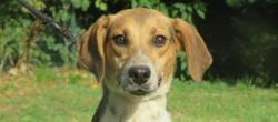 Granola chao10141, Chien croisé / autre (beagle) à adopter