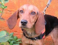 Truffe, Chien croisé / autre (beagle) à adopter
