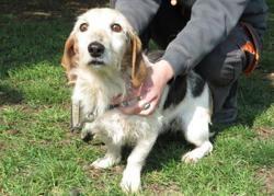 Spooky, Chien croisé / autre (beagle/ teckel) à adopter