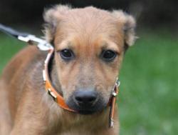 Urion chao10371, Chiot croisé / autre (berger) à adopter