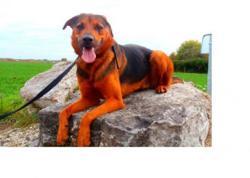 Diego, Chien croisé / autre (berger allemand) à adopter