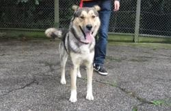 Phebus, Chien croisé / autre (berger allemand/ husky siberien) à adopter