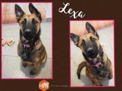 Lexa, Chien croisé / autre (berger belge malinois) à adopter
