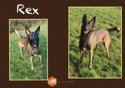Rex ( réservé), Chien croisé / autre (berger belge malinois) à adopter