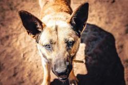 Rex, Chien croisé / autre (berger belge malinois) à adopter