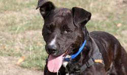 Black, Chien croisé / autre (berger/ dogo canario) à adopter