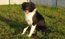 Paco (réservé), Chiot croisé / autre (border collie) à adopter