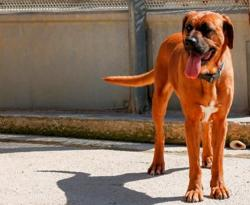 Elfie, Chien croisé / autre (boxer) à adopter