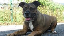 Jipsy, Chien croisé / autre (boxer/ cane corso) à adopter