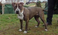 En, Chien croisé / autre (boxer/ labrador (retriever)) à adopter