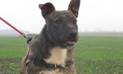 Stitch, Chien croisé / autre (bull terrier/ griffon) à adopter
