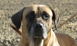 Yanky , Chien croisé / autre (cane corso) à adopter