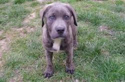 Betty, Chiot croisé / autre (cane corso) à adopter