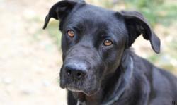 Hyndi, Chien croisé / autre (cane corso) à adopter