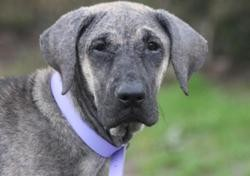 Pepette chao10373, Chien croisé / autre (cane corso) à adopter
