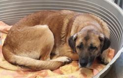 Jackie, Chien croisé / autre (cane corso) à adopter