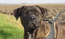 Rambo (réservé), Chiot croisé / autre (cane corso) à adopter