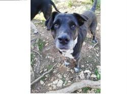 Rollo, Chiot croisé / autre (cane corso/ berger) à adopter