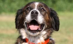 Scoobidoo, Chien croisé / autre (chien corse) à adopter