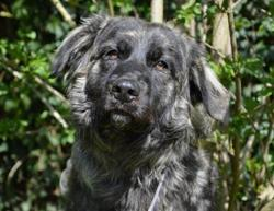 Nicky chao8741, Chien croisé / autre (chien corse) à adopter