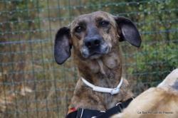 Filetta, Chien croisé / autre (chien corse) à adopter
