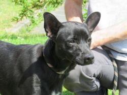 Axel, Chien croisé / autre (chien courant) à adopter