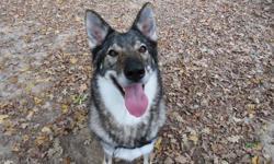Lovely, Chien croisé / autre (chien loup tcheque) à adopter