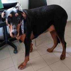 Bella, Chien croisé / autre (dobermann) à adopter