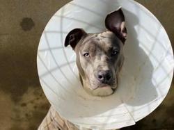 Rosko, Chiot croisé / autre (dogue) à adopter