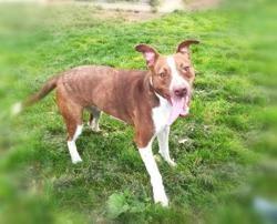 Roxy qct, Chien croisé / autre (dogue) à adopter