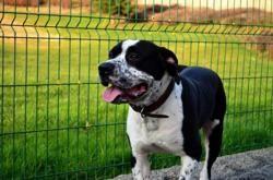 Marley, Chien croisé / autre (dogue argentin) à adopter