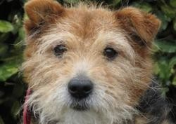 Orson, Chien croisé / autre (fox terrier poil dur) à adopter