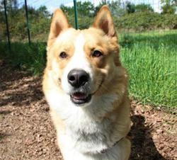 Hayko, Chien croisé / autre (husky siberien) à adopter