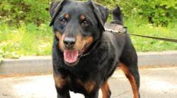 Dixy, Chien croisé / autre (jadg terrier) à adopter