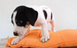 Ora1, Chiot croisé / autre (labrador (retriever)) à adopter