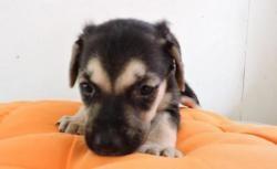Ora8, Chiot croisé / autre (labrador (retriever)) à adopter