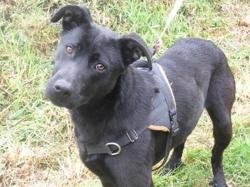 Havana (réservée), Chien croisé / autre (labrador (retriever)) à adopter