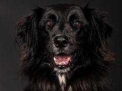 Jack, Chien croisé / autre (labrador (retriever)) à adopter