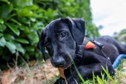 Pop, Chiot croisé / autre (labrador (retriever)) à adopter