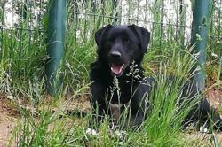 Otto (réservé), Chien croisé / autre (labrador (retriever)/ berger) à adopter
