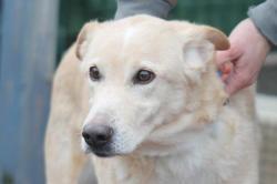 Maddie, Chien croisé / autre (labrador (retriever)/ berger) à adopter