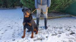 Benny vaa22765, Chien croisé / autre (rottweiler) à adopter
