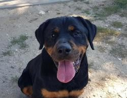 Yourka caa9984, Chien croisé / autre (rottweiler) à adopter