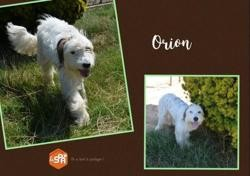 Orion (réservé), Chien croisé / autre (setter anglais) à adopter