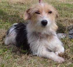 Biscotte, Chien croisé fox terrier/griffon à adopter