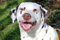 Jerry, Chien dalmatien à adopter
