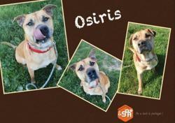 Osiris (réservé), Chien dogue à adopter